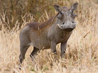 Facocèro - Warthog (Phacochoerus africanus)