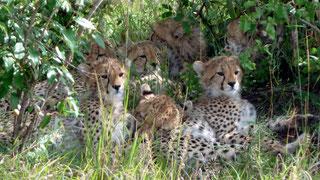 Famiglia di ghepardi. Riserva Masai Mara, Kenya