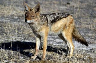 Sciacallo dalla gualdrappa (Canis mesomelas)