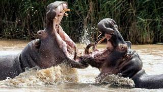 Ippopotami mostrano i loro possenti canini
