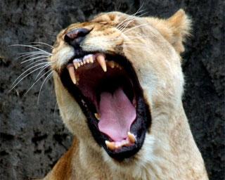 Le leonesse sfruttano i denti aguzzi per uccidere le prede con un morso al collo