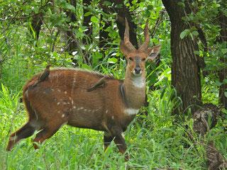 Tragelafo striato - Bushbuck - Imbabala (Tragelaphus scriptus sylvaticus)