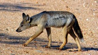 Sciacallo striato (Canis adustus)