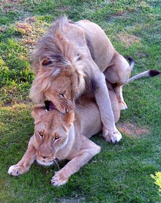 Una coppia di leoni durante l'accoppiamento