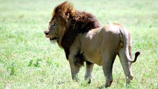 Leone Masai Cratere Ngorongoro, Tanzania.