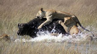 Un gruppo di leonesse collabora per abbattere un bufalo
