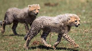 Giovani ghepardi