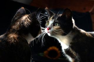 Spiegelnild Katze