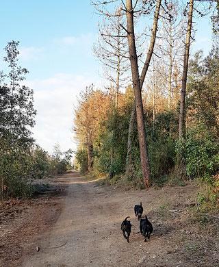 Staffordshire bull terriers - Villamagna Dogs