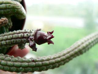 Ceropegia ericiflora