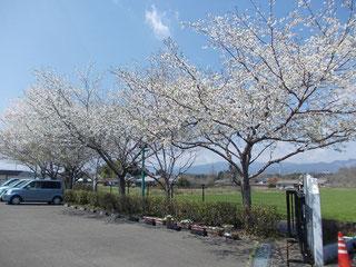 友愛苑の桜