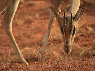 Safaris Kenia Tsavo West und Ost