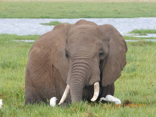 Safaris in den Amboseli Nationalpark