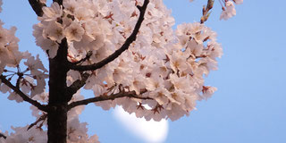桜_永代供養墓-東京 小日向 本法寺-東京都文京区のお墓 永代供養墓 法要-
