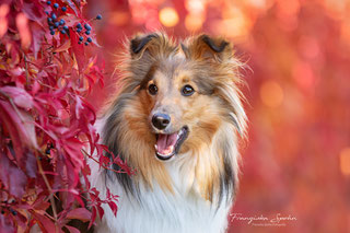 Franziska Spohn Fotografie - Outdoorshooting, Tierfotografie, Hundeshooting, Herbst, Sheltie