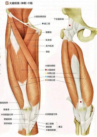 大腿前面(伸筋)の筋