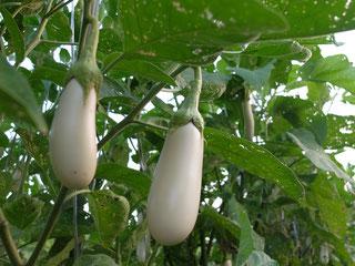 ミモレ農園 農薬不使用 白なす