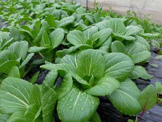 ミモレ農園 農薬不使用 チンゲン菜