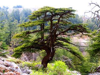 Reserva Shouf Cedar en Líbano. Foto: IUCN James Hardcastle/ SINC