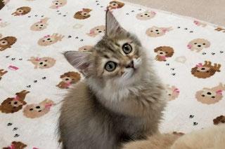 子猫の格安販売!猫の部屋セイワ。可愛いサイベリアンの子猫です。