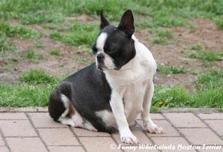 Wir erwarten Boston Terrier Welpen! Boston Terrier Welpen vom Züchter, Rheinland-Pfalz bei Luxemburg/Belgien/Schweiz/Niederlande!
