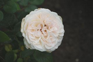 "Rose ""Sebastian Kneipp"" (s.Quellen)"