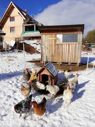 Junge Hühner aus 2018