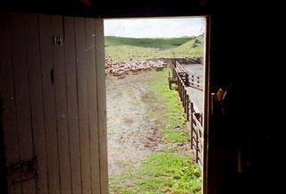 die Schafe werden zur Schur gebracht