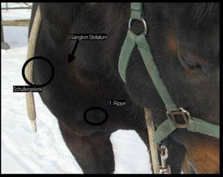 Vegetatives Nervensystem Pferd - Ganglion Stellatum