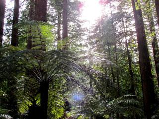Redwood Forest (Rotorua)