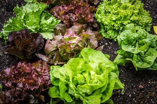 Kopfsalat am Feld