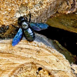 Blauschwarze Holzbiene Xylocopa violacea