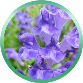 Extracto de Scutellaria Baicalensis