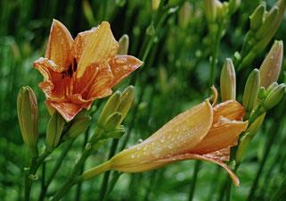 21. Juni 2016 - Schon wieder Regen, doch Überraschung im Garten