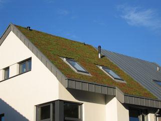 Extensive Dachbegrünung, Sedummatten, Steildach