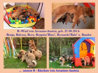 Ronjas B-Wurf von Arrasino-Austria (geb. 27.08.2014)