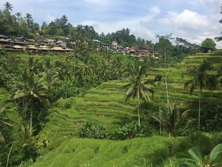 Reisterrassen, Riceterrace, Bali, Ubud, Tegallalang