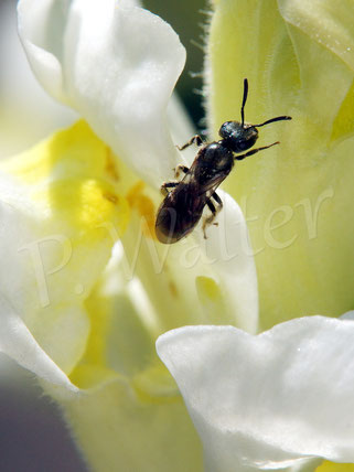 Bild: Furchenbiene am Löwenmäulchen