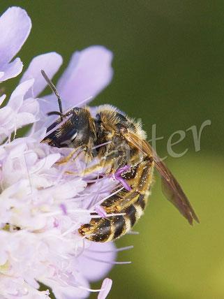 Foto: Gelbbindige Furchenbiene, Halictus scabiosae, Weibchen, Skabiose
