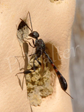 Schmalbauwespe, Gasteruption assectator, Parasit bei Maskenbienen