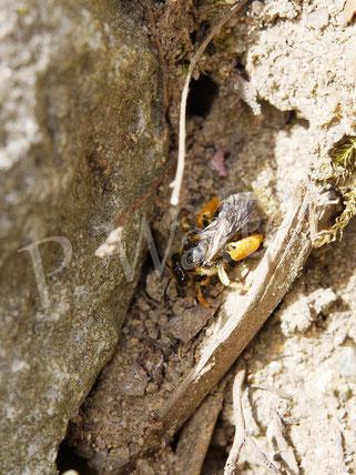 11.06.2017 : eine dieser kleinen Sandbienen (?? siehe 05.06.), vollgepackt mit Pollen