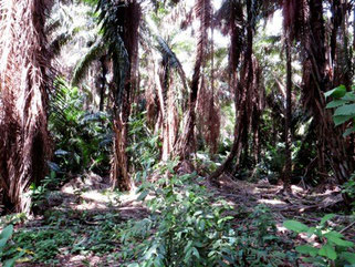 Inside Katago forest