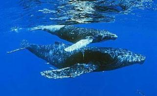 Buckelwale von Samana
