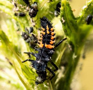 Marienkäferlarve beim Frühstück
