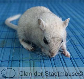 Die Maus schnüffelt und schaut nach unten, das Gesicht ist nicht gut zu erkennen.