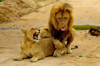 masai mara leoni