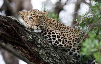 leopardo Nakuru