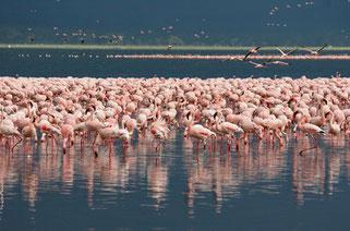 fenicotteri lago nakuru