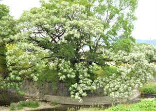 ありし日のセンダンの大木~お花が満開(箕面川・石澄川合流点)