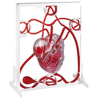 Modèle de cœur humain pour l'apprentissage de la circulation du sang.